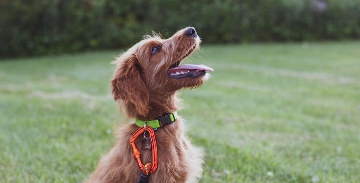Good Dog Manners / Basic Obedience Class